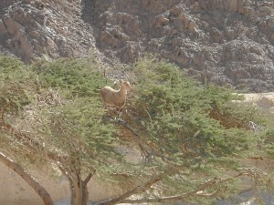 eilat-mountains-goat1